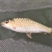 ปลาพลวงชมพู